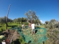Once the branches are cut off then the olives are scraped or knocked off onto the nets.